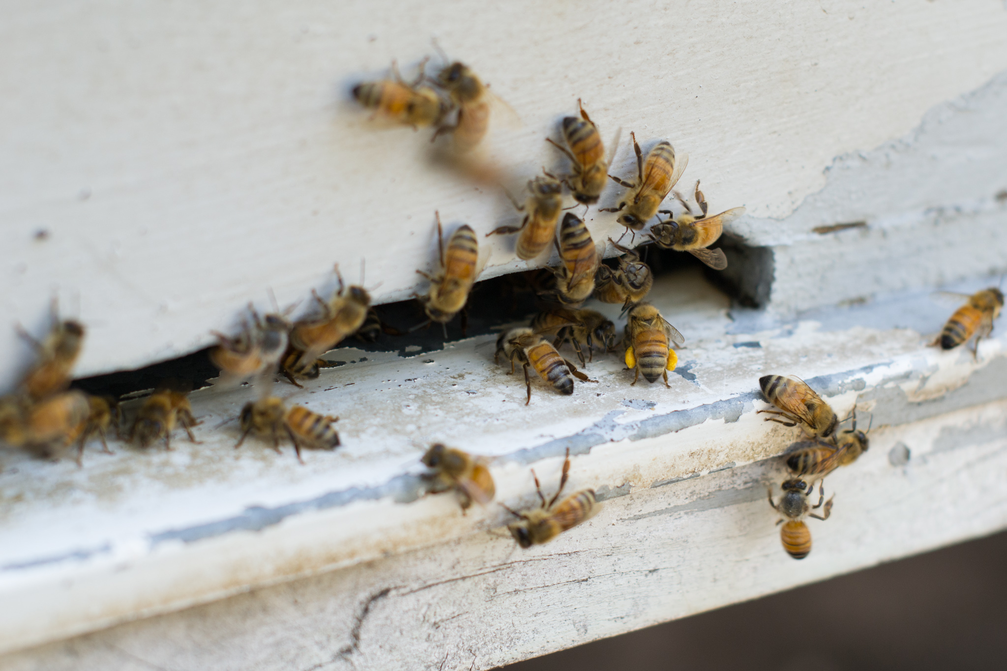 Some of our hard-working girls taking pollen supplies into the hive