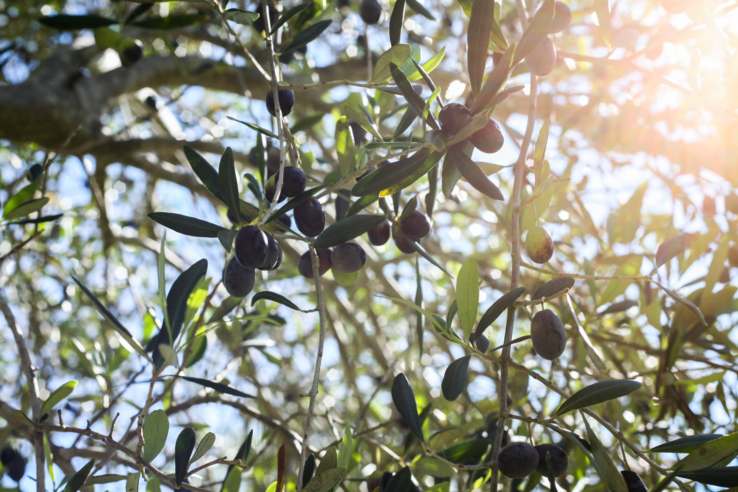 Olives ripening in perfect west australian sunlight