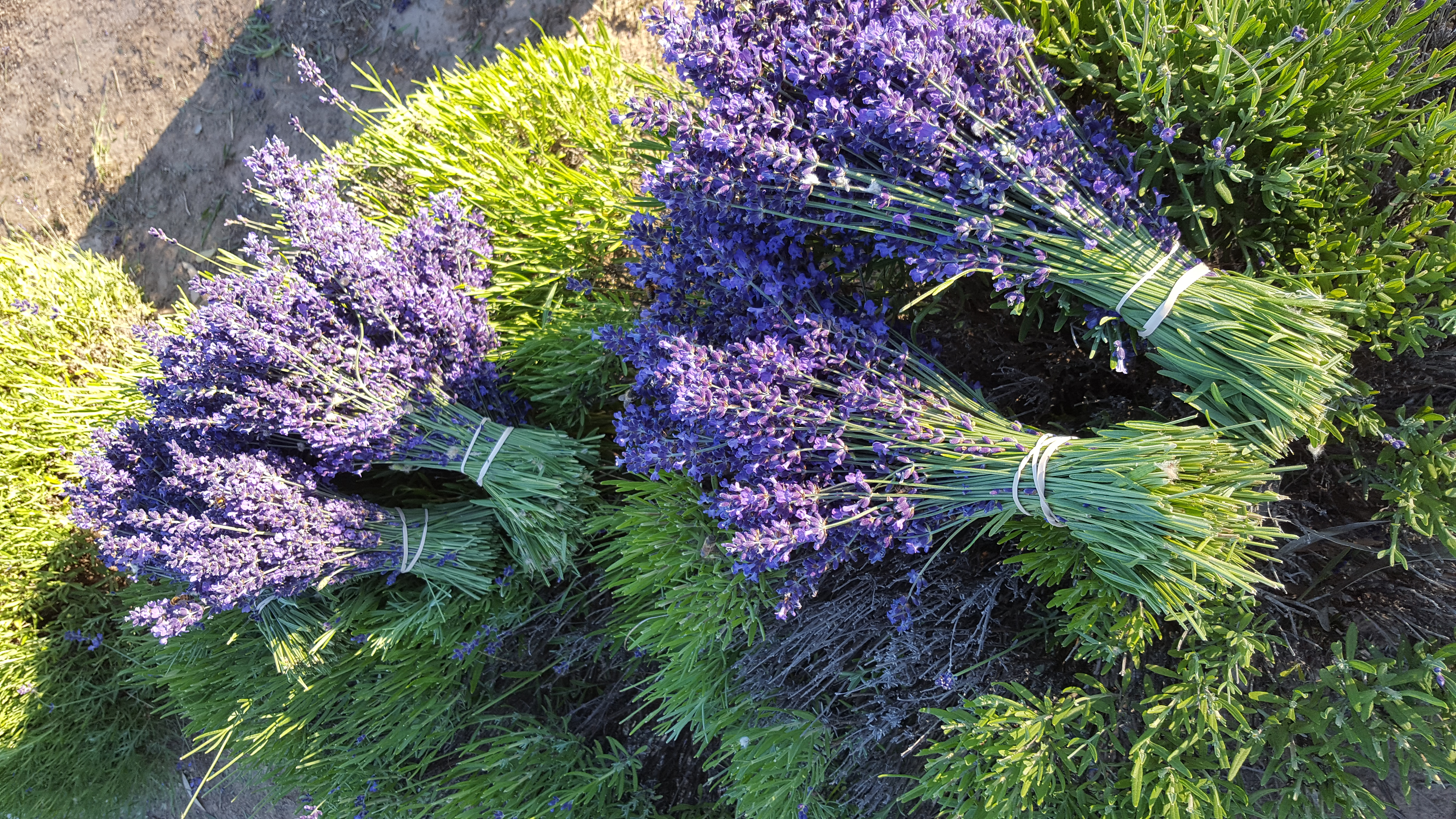 Lavandula angustifolia Egerton Blue - one of the best culinary lavenders