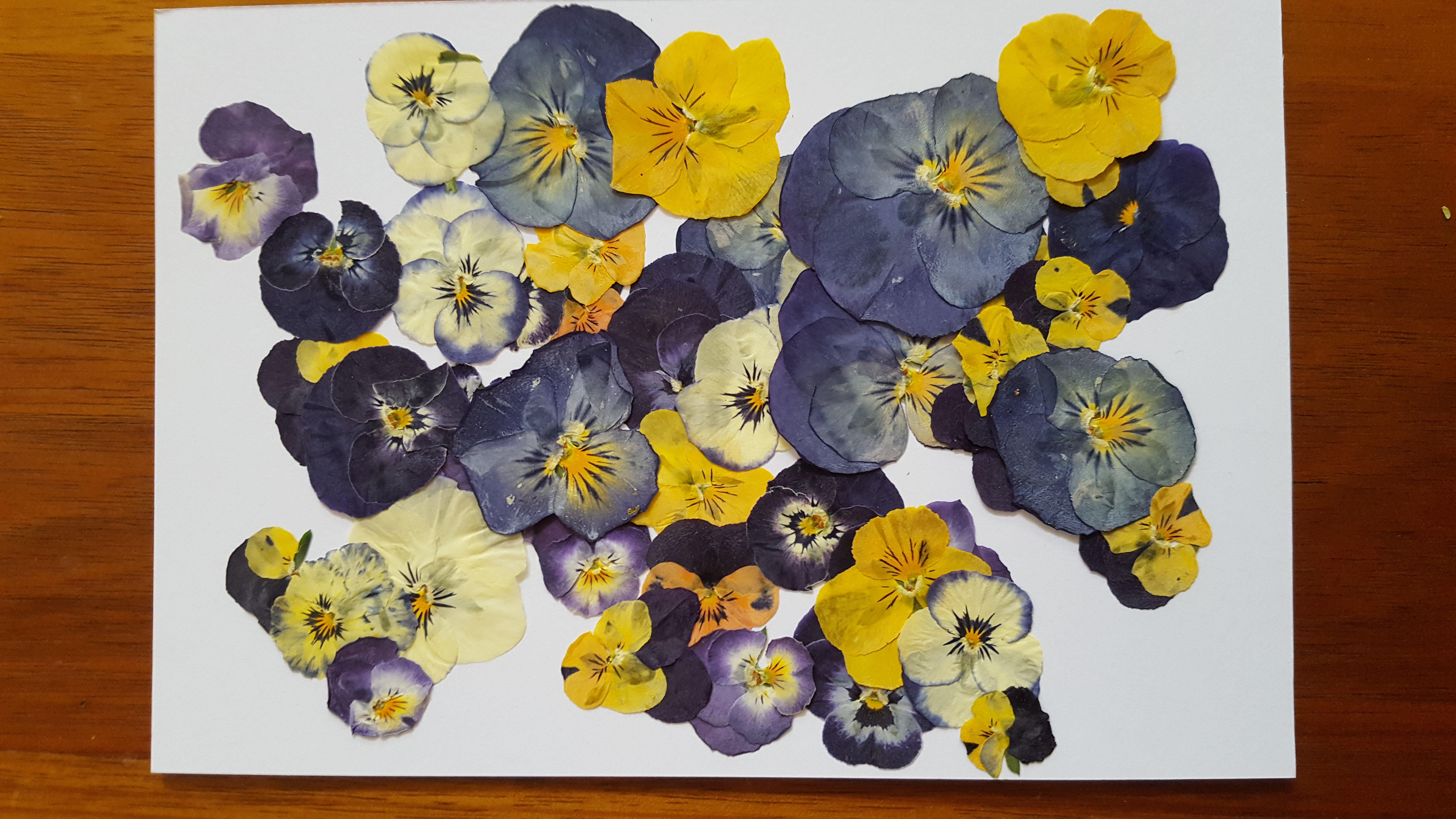 Pressed Flower Cards - violas