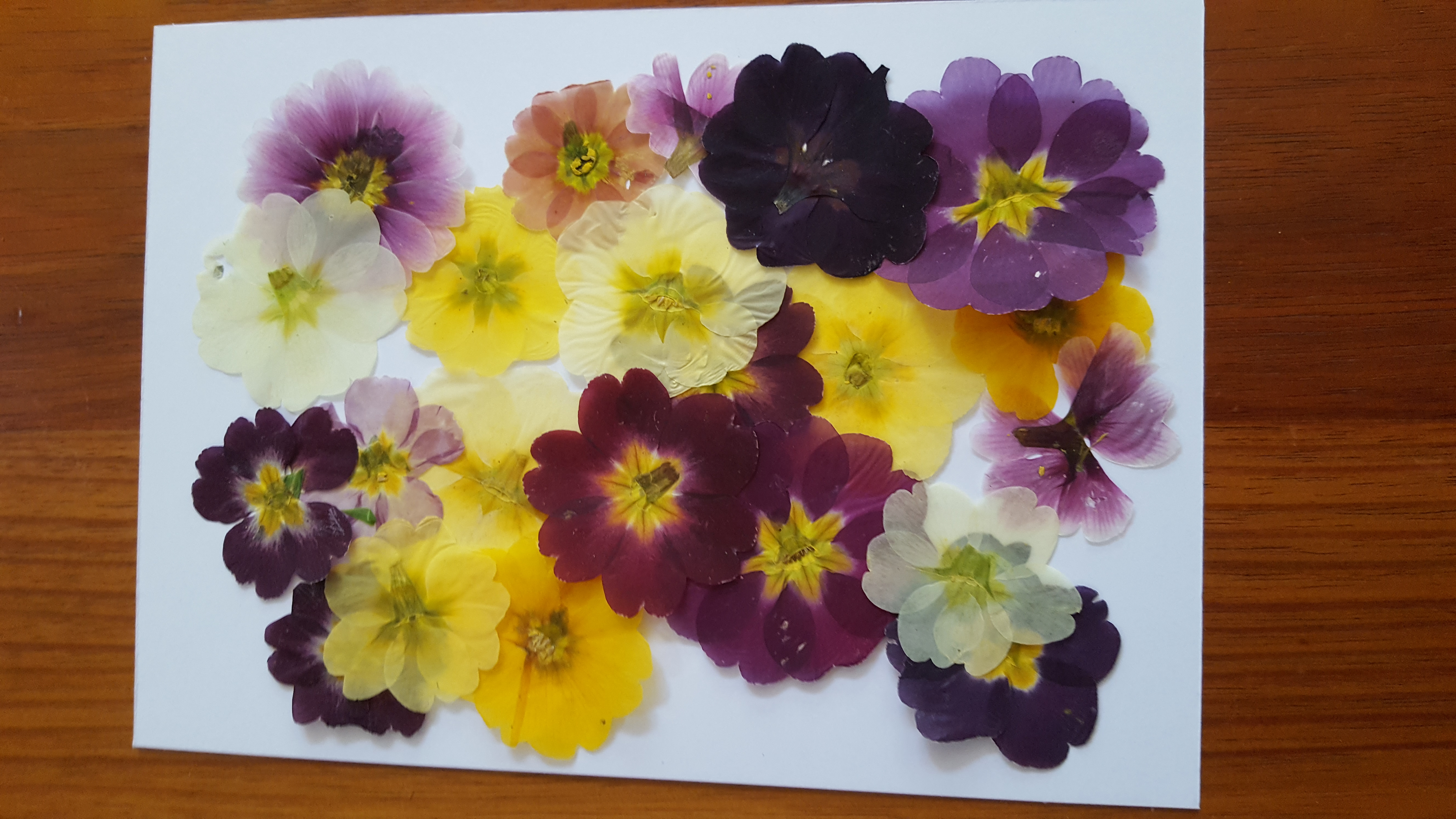 Pressed flower cards - primroses