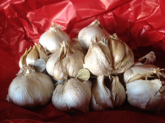 Giant Russian Garlic for discerning buyers
