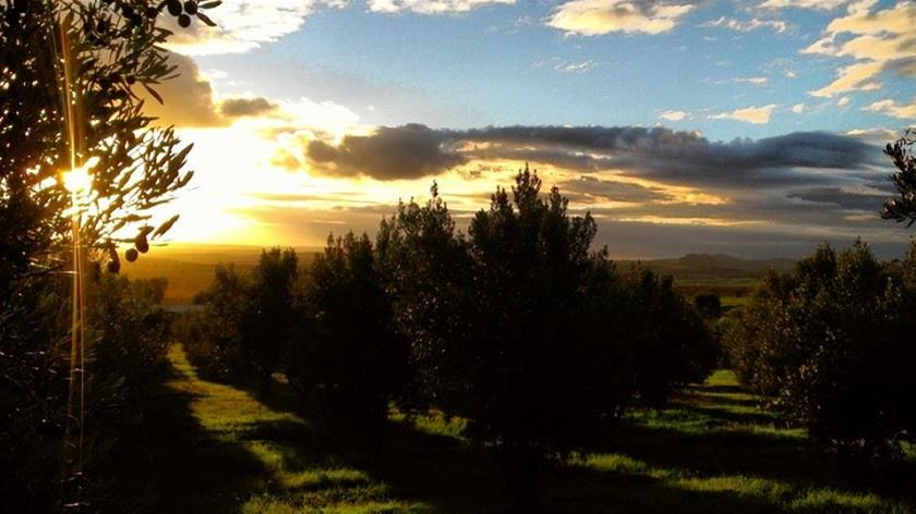 Tathra Homestead olive grove at sunset - Barossa Valley artisan food producer