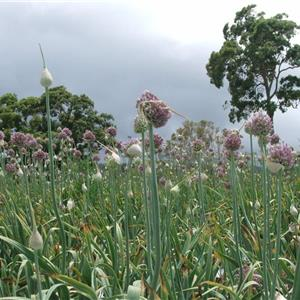 Eungella Chemical Free Garlic